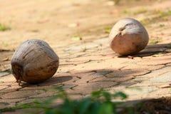 Kokosnöt två på stranden arkivfoton
