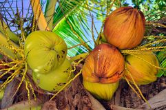 kokosnötbarn Arkivfoto