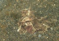 Kokosnötbläckfisk Arkivbilder