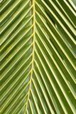Kokosnötblad Fotografering för Bildbyråer