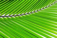 Kokosnötblad Arkivfoton