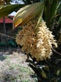Kokosnötblommabild Arkivbild