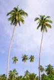 kokosnötdungepalmträd Arkivfoton