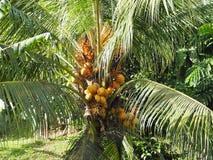 Kokosnöten att gömma i handflatan och dess kokosnötter på ön av Martinique royaltyfri foto