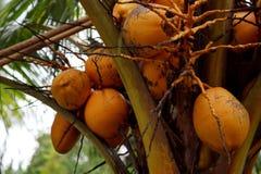 Kokosnöten bär frukt i indonesia fotografering för bildbyråer