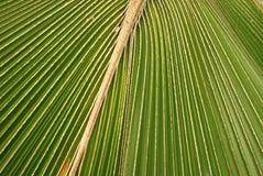 kokosnöten blad treen royaltyfri fotografi