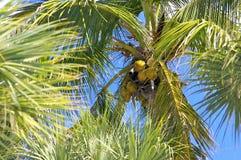 kokosnöten gömma i handflatan Royaltyfria Bilder