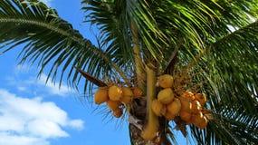 Kokosnöten gömma i handflatan Royaltyfri Fotografi