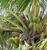 kokosnöten gömma i handflatan royaltyfri bild