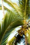 kokosnöten gömma i handflatan bilden Royaltyfri Foto