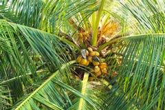 Kokosnöten gömma i handflatan cocosnucifera med kokosnöten royaltyfri foto