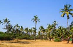 Kokosnöten gömma i handflatan dungen i Goa, Indien Fotografering för Bildbyråer