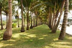 Kokosnöten gömma i handflatan gränden i den kohchang ön, Thailand Arkivbilder