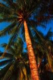 Kokosnöten gömma i handflatan i den Caye caulkeren Royaltyfri Foto