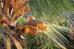 Kokosnöten gömma i handflatan i solig dag med kokosnötter Royaltyfria Foton
