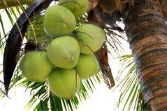 Kokosnöten gömma i handflatan (kokosnöten) Royaltyfria Bilder
