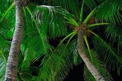 Kokosnöten gömma i handflatan kronan är upplyst vid gatabelysning på en tropisk natt Tropisk natt för begrepp Botten beskådar royaltyfri bild