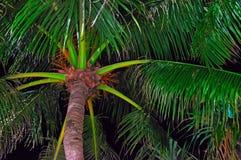 Kokosnöten gömma i handflatan kronan är upplyst vid tropisk natt för gatabelysning Ekvators- varm natt för begrepp Botten beskåda Arkivbild