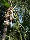 Kokosnöten gömma i handflatan i Maldiverna fotografering för bildbyråer