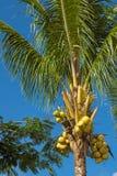 Kokosnöten gömma i handflatan med frukter Arkivbild