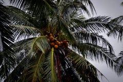 Kokosnöten gömma i handflatan med mycket mogen kokosnöt Royaltyfri Fotografi