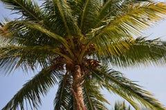 Kokosnöten gömma i handflatan med kokosnöten på den Se mina andra arbeten i portfölj Royaltyfria Foton