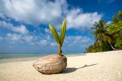 Kokosnöten gömma i handflatan på den sandiga stranden av den tropiska ön Fotografering för Bildbyråer