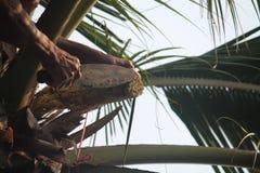 Kokosnöten gömma i handflatan skörden Fotografering för Bildbyråer