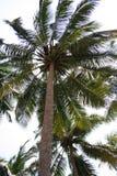 kokosnöten gömma i handflatan två Arkivfoton