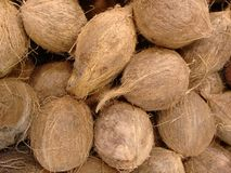 Kokosnöten, kelapaen, kakaomuttern, niyoren eller kokosnöten gömma i handflatan Royaltyfri Bild