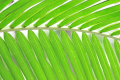 Kokosnöten lämnar bakgrund Royaltyfri Fotografi
