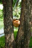 Kokosnöten mellan trädet, Lumpini parkerar, Bangkok Arkivbild
