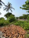 kokosnöten shells trees Arkivbild