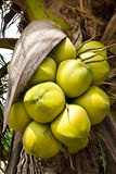 Kokosnötfrukt Royaltyfria Bilder