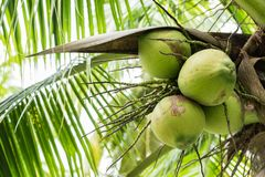 Kokosnötfrukt på kokospalmen Fotografering för Bildbyråer