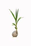 Kokosnötgrodd Fotografering för Bildbyråer