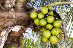Kokosnötklunga på kokosnötpalmträdet Royaltyfri Bild