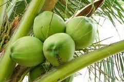 Kokosnötklunga på kokospalmen Royaltyfria Bilder