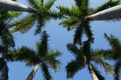 kokosnötkonung Arkivfoto