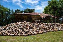 Kokosnötlantgård i Dominikanska republiken: berg av kokosnötter arkivbild