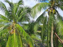 Kokosn?tlantg?rdtr?d med kokosn?ten arkivfoton