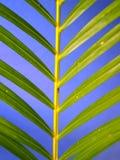 kokosnötleaf royaltyfria bilder