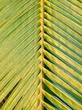 kokosnötleafen gömma i handflatan arkivfoton