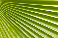 kokosnötleafen gömma i handflatan Royaltyfri Bild