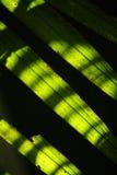 kokosnötleaves Arkivbilder