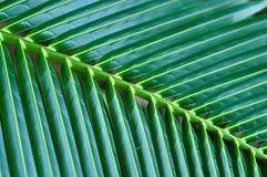 kokosnötleaves Arkivfoton
