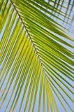 Kokosnötleaves Arkivfoto