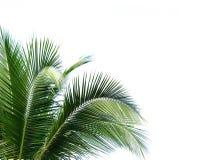 Kokosnötleaves på vit bakgrund arkivfoton