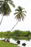 Kokosnötlutning över den tropiska floden molnig dag Royaltyfria Foton