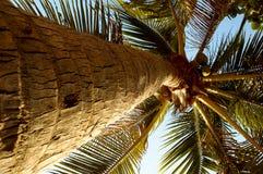 kokosnötpalma Royaltyfri Foto